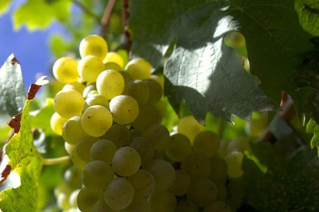 grapeseed oil vs canola oil