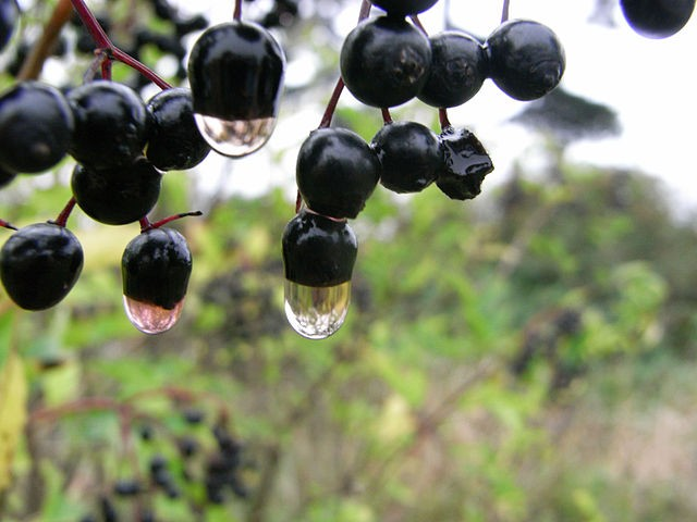 black currant oil side effects