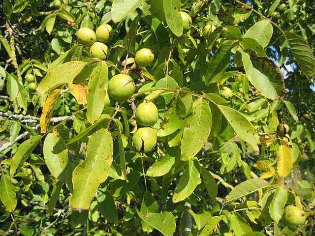 walnut oil for skin