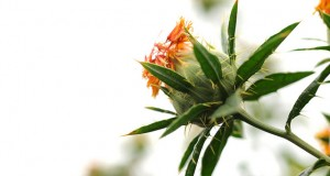 what is safflower oil good for