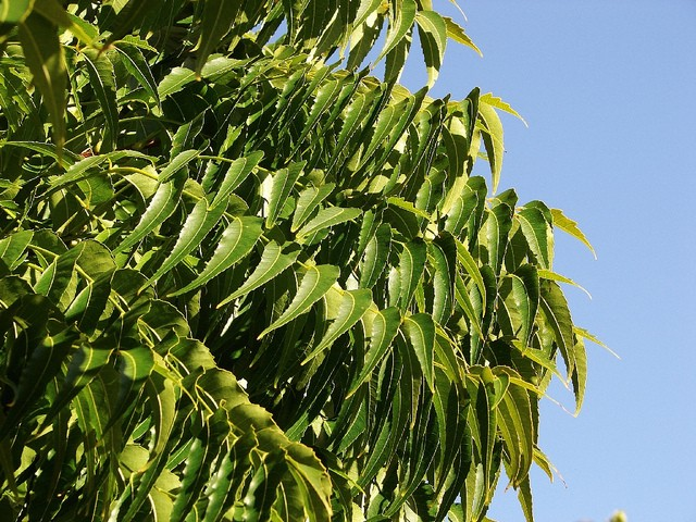 neem oil insecticide