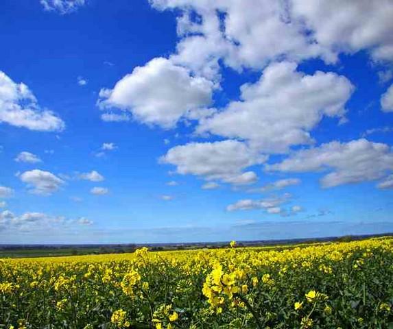 canola oil vs soybean oil