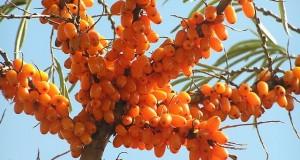 Sea Buckthorn Oil for Healthy