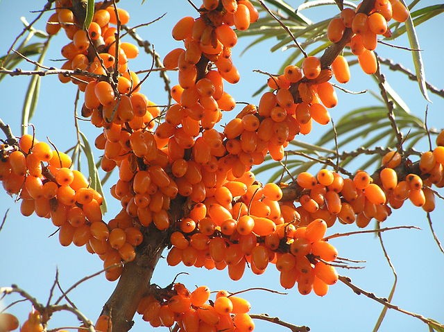 Sea Buckthorn Oil  in Medicine and Cosmetics