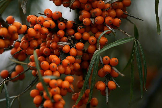 Sea Buckthorn Oil Benefits