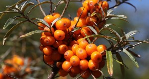 Sea Buckthorn Oil Supplements