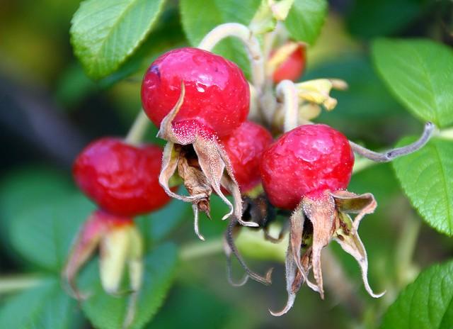 rosehip seed oil for skin
